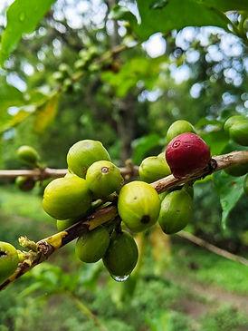 Kaffee Bourbon Pointu Pflanze