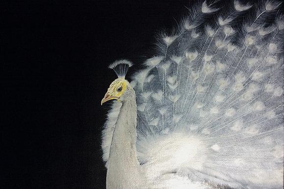 Inner Light - White Peacock