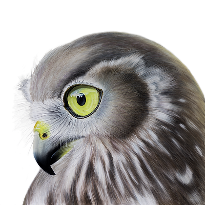 Prophecy - The Australian Barking Owl