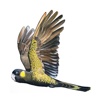 In Spirit - Yellow Tailed Black Cockatoo