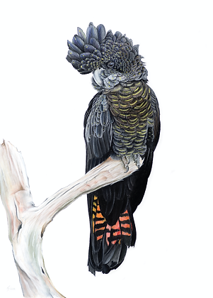 The Empress - Red Tailed Black Cockatoo