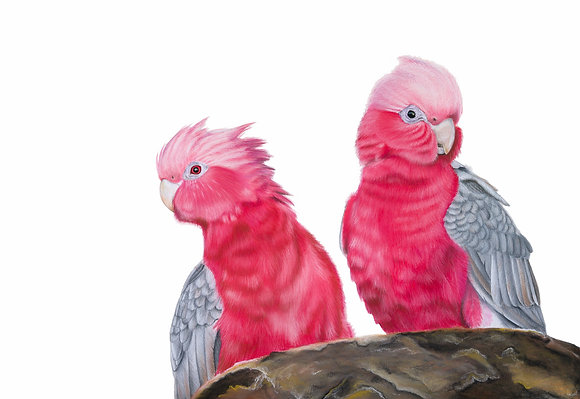 The Whole Hearted - Australian Galahs