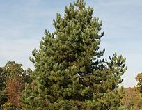 Austrian Pine is a great evegreen tree.