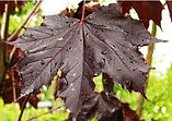 Closeup of royal red maple leaf