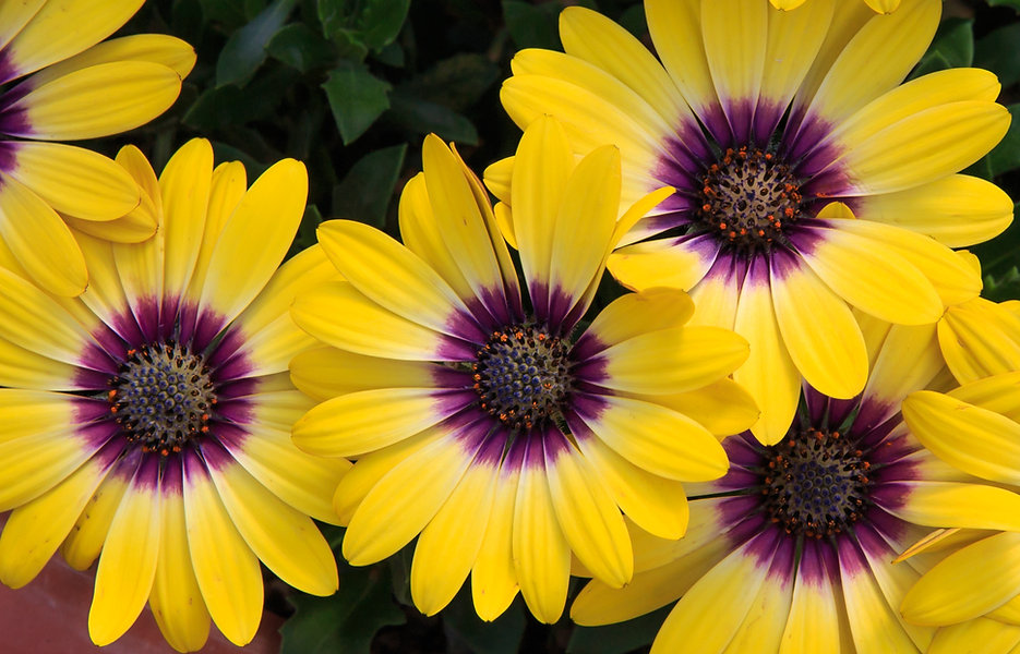 Flower, Osteospermum, African Daisy