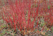 Red twigged dogwood before leafing out in the spring
