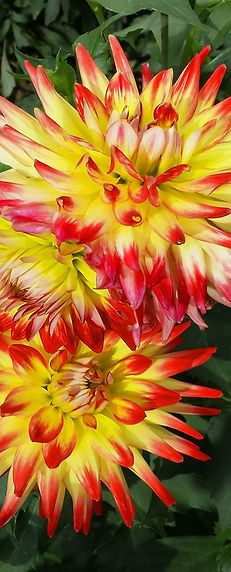 Annual, Flowers, Dahlia, Annual, Flower