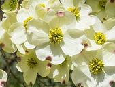 Dogwood shurub flower