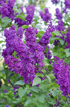 Shurub, Shrubs, Lilac, Flower, Lilacs, Leaves