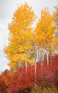 popular wyoming tree, aspens