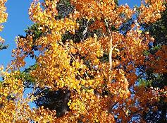 Aspens in fall color