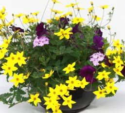 """Bidens, Petunia, and Verbena"