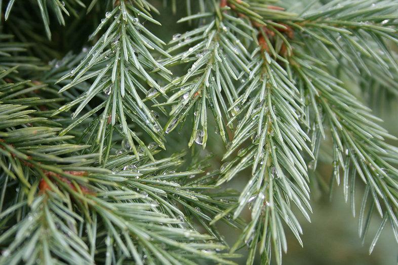 Evergreen needles