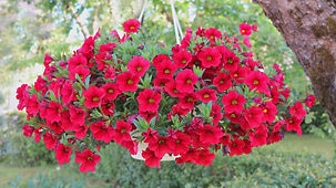"""Red Petunia Hanging Basket"""