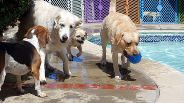 dogs playing at daycare
