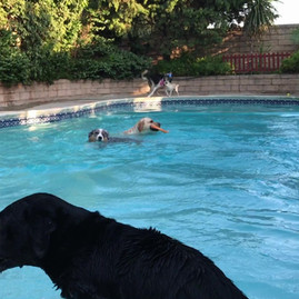 Pooltime fun at Green Doggie Home Boarding