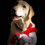 Holiday pet portrait | Jentry the lab