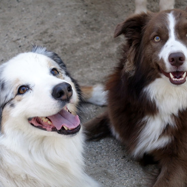 Cooper the Aussie and Holly the border collie