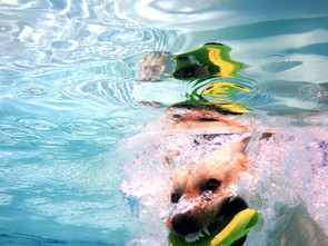 dog-diving-underwater-with-frisbee