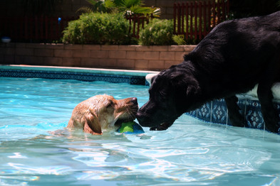 Yellow Lab Teasing Black Lab in Pool