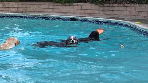 Dogs Swimming at Daycare