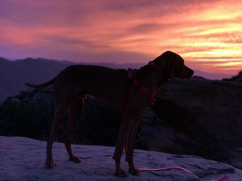 vizsla-hiking-at-sunset