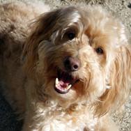 Layla the mini goldendoodle