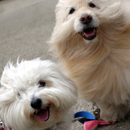 Quincy the coton de tulear and Maggie the collie golden mix
