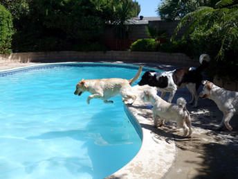 Yellow Lab Diving into Pool