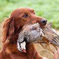 chasse perdrix