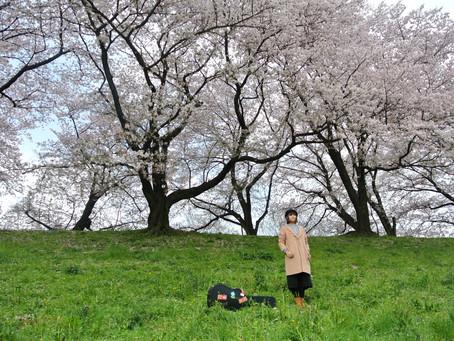 二〇一七我在日本邊唱歌邊旅行|那些年我們一起追的櫻花