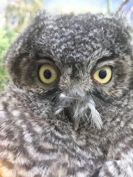 Screech Owl Baby.JPG