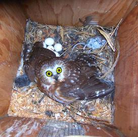 Saw Whet Owl.jpg