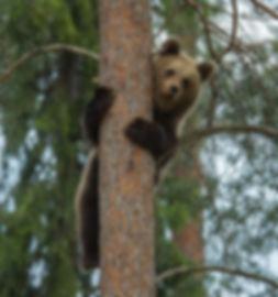 Brown-bear Taiga-forest
