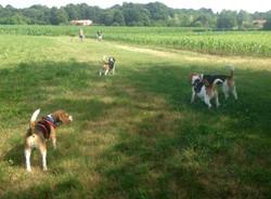 Passeggiata Beagle