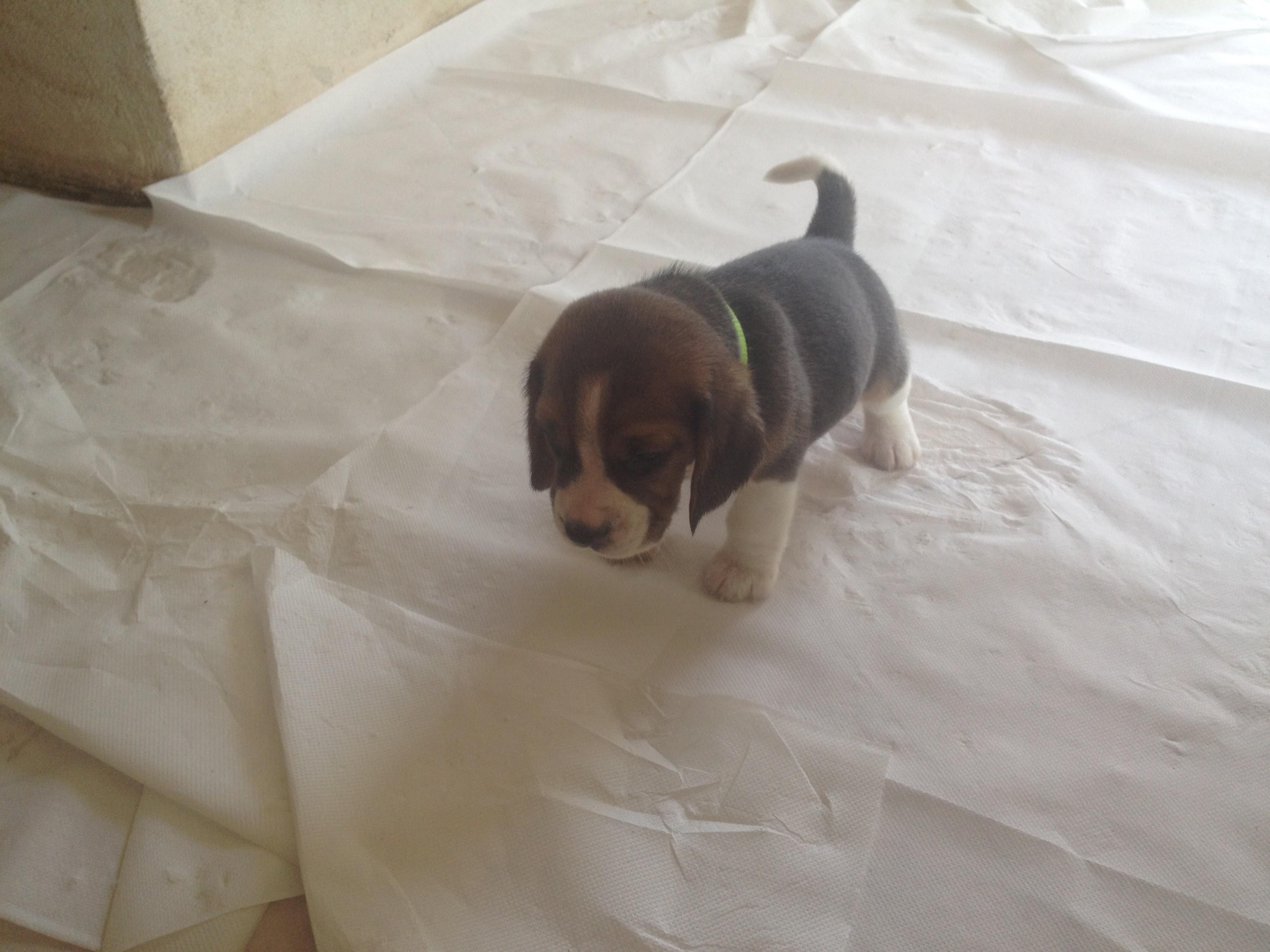 Cuccioli Beagle