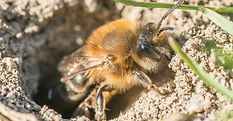 ground-bees-information.jpg