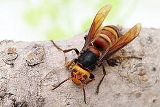 Close up of giant hornet on a tree surfa