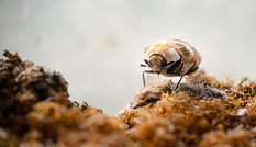 Macro picture of a varied carpet beetle