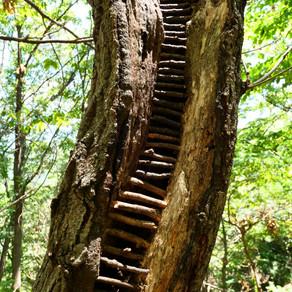 Crack in the Sawtooth oak