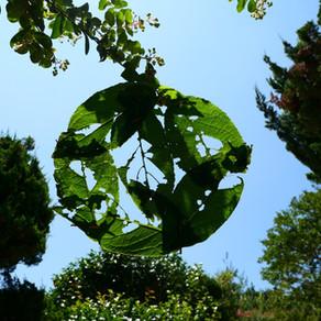 The bitten Eucommia ulmoides leaves