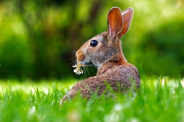 Hare, rabbit, Ayurveda, Vata