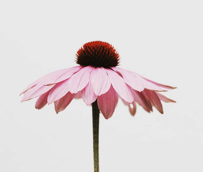 Gorgeous Echinacea. Although spring time
