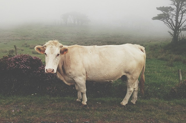 Cow, Ayurveda, Kapha