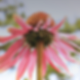 Echinacea photo.png
