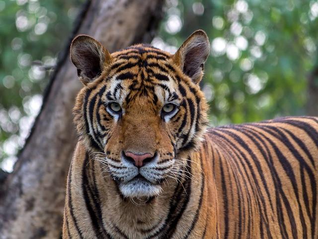 Tiger, Ayurveda, Pitta