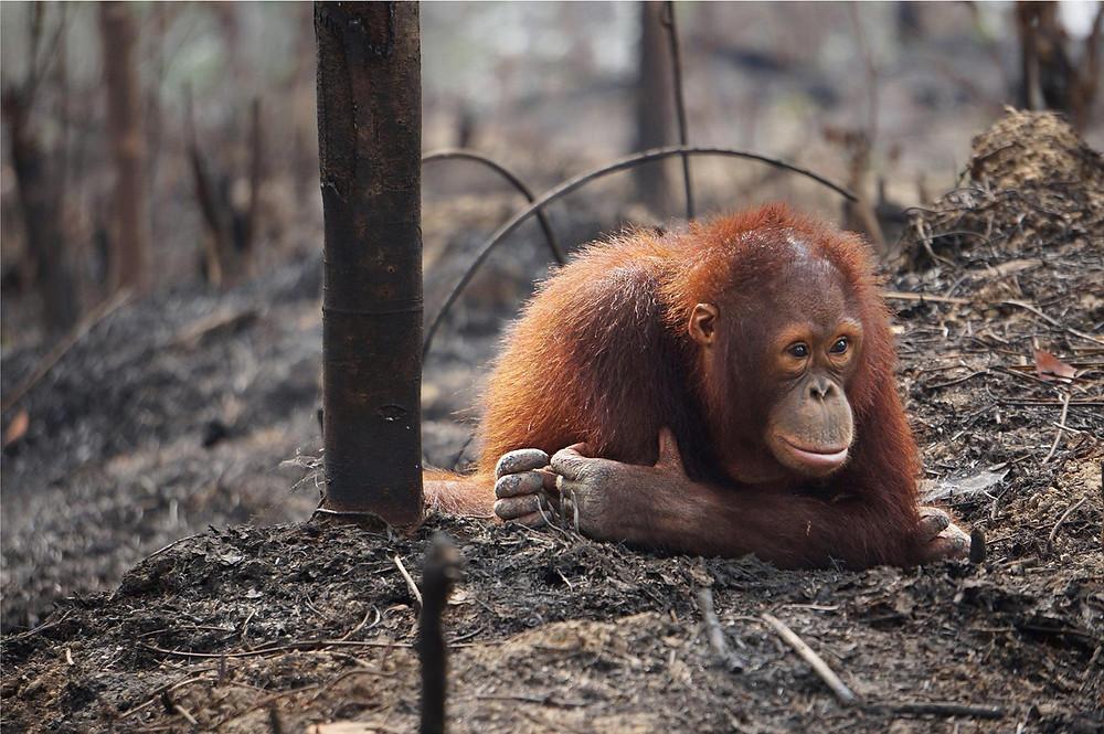 orangutan palm oil sumatra