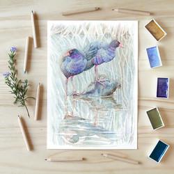 Purple Swamphens