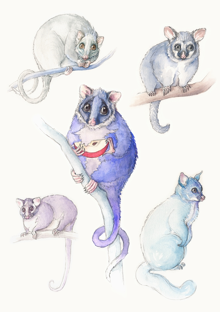 Possum sketches. Watercolour, A3