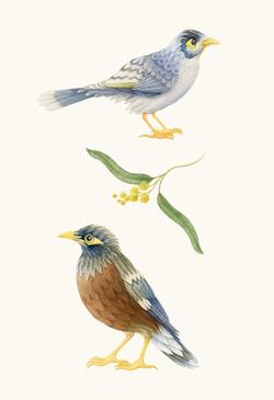 Miner & Mynah Bird. Watercolour, A4